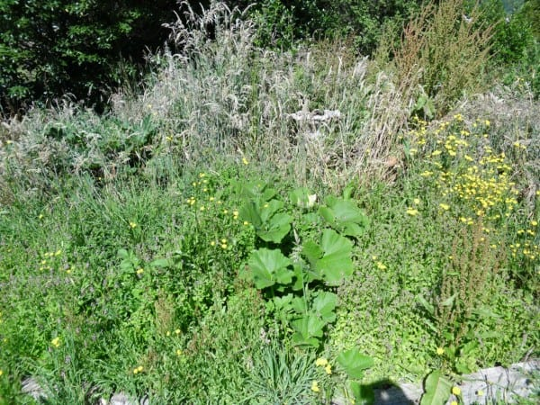 Lots of weeds around the giant pumpkin plant