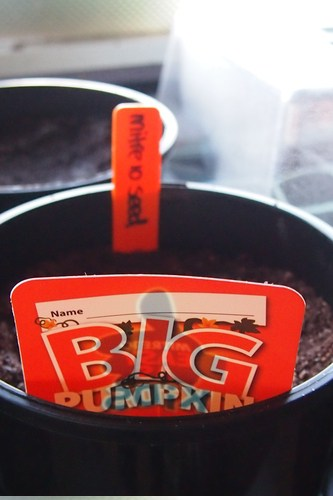 Mitre 10 seed all ready in it's pot.