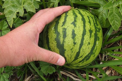 Watermelon with hand on it