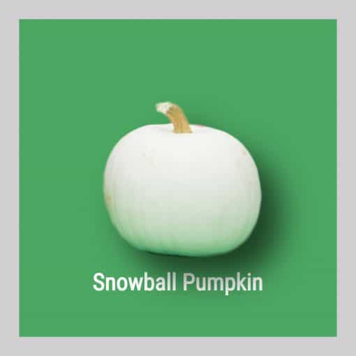 Snowball Pumpkin Image