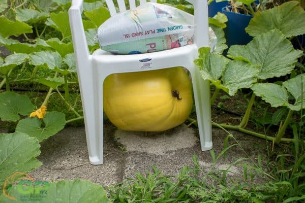 Plastic chair being used for shade over giant pumpkin
