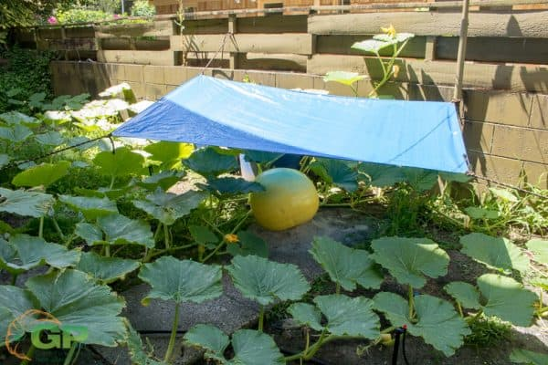 New shade for giant pumpkin made from $1.50 tarp