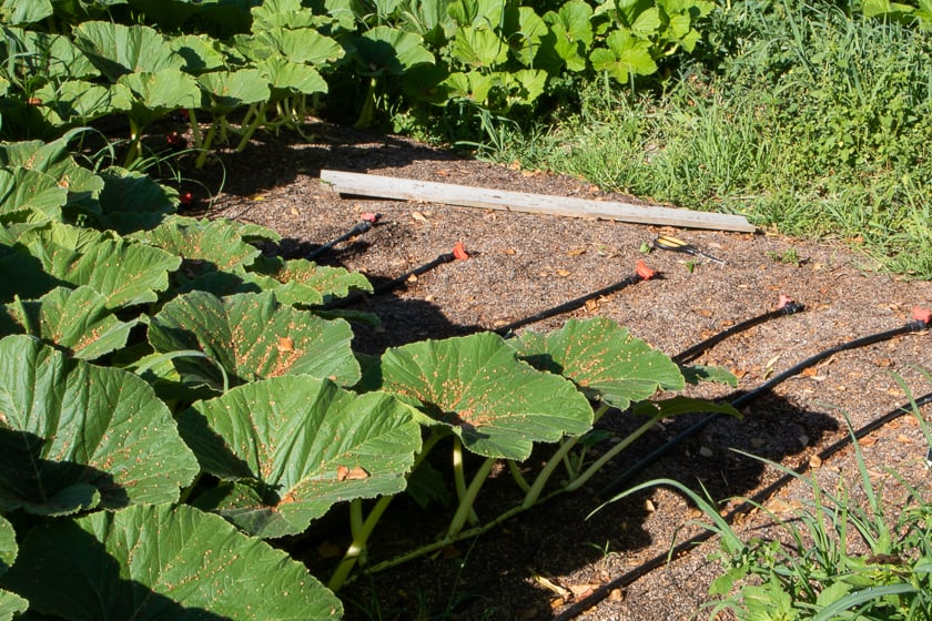 Giant Pumpkin Patch vine Stopped Growing