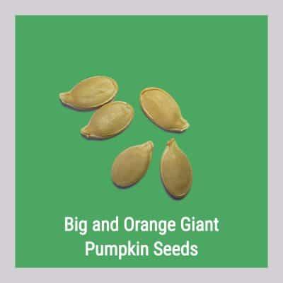 Big and Orange Pumpkin Seeds