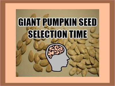 Giant Pumpkin Seed Selection Time