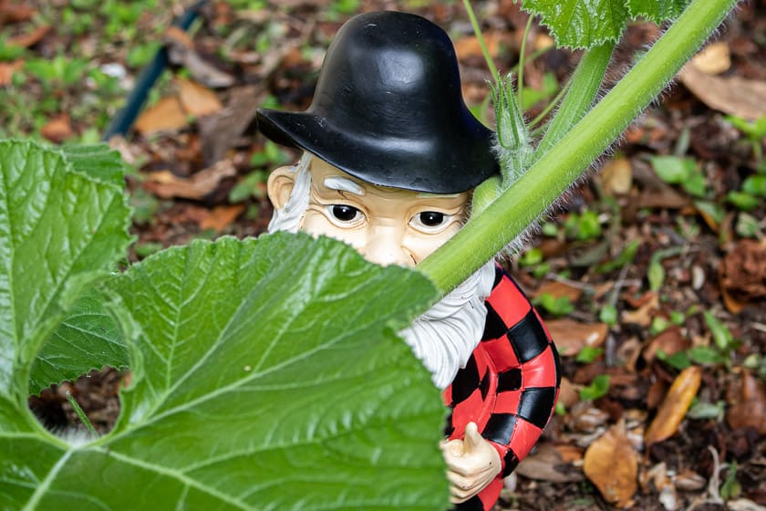 Garden Gnome Used to Help Train Giant Pumpkin Vine