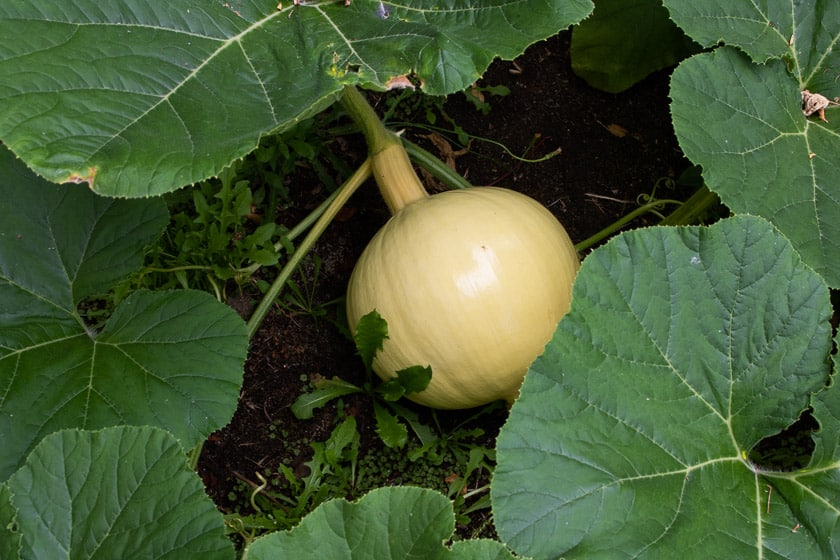 Pollinated Giant Pumpkin Starting to Grow