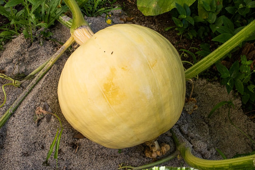 The Premature End of My Giant Pumpkin Growing Season