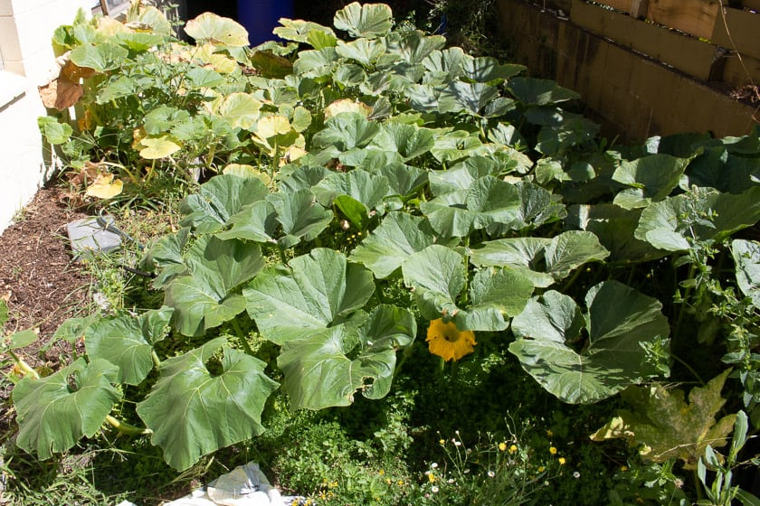 Tiny Pumpkin Patch Late Growth