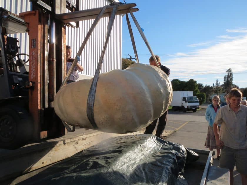 Lifting a giant pumpkin with straps and a forklift