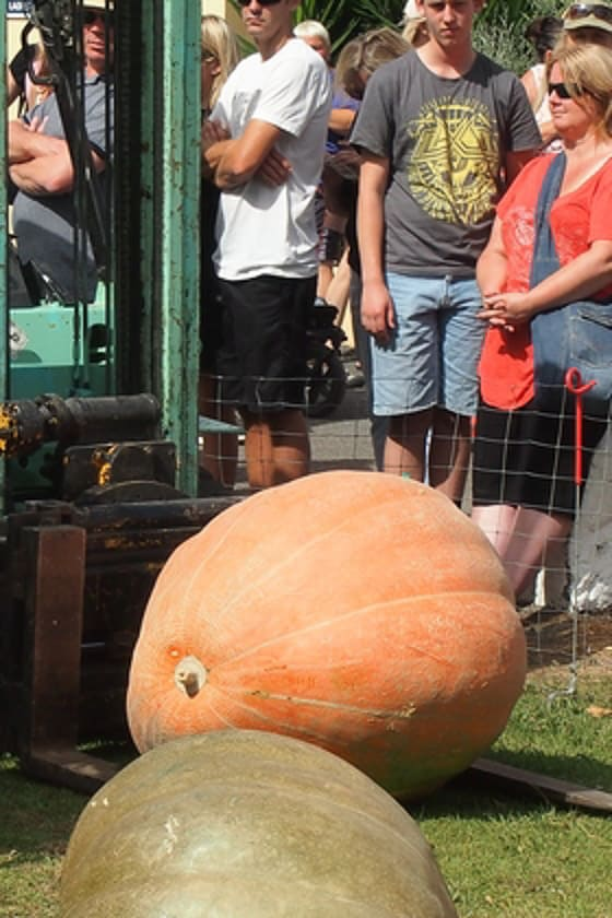Pumpkin about to be lifted with a forklift