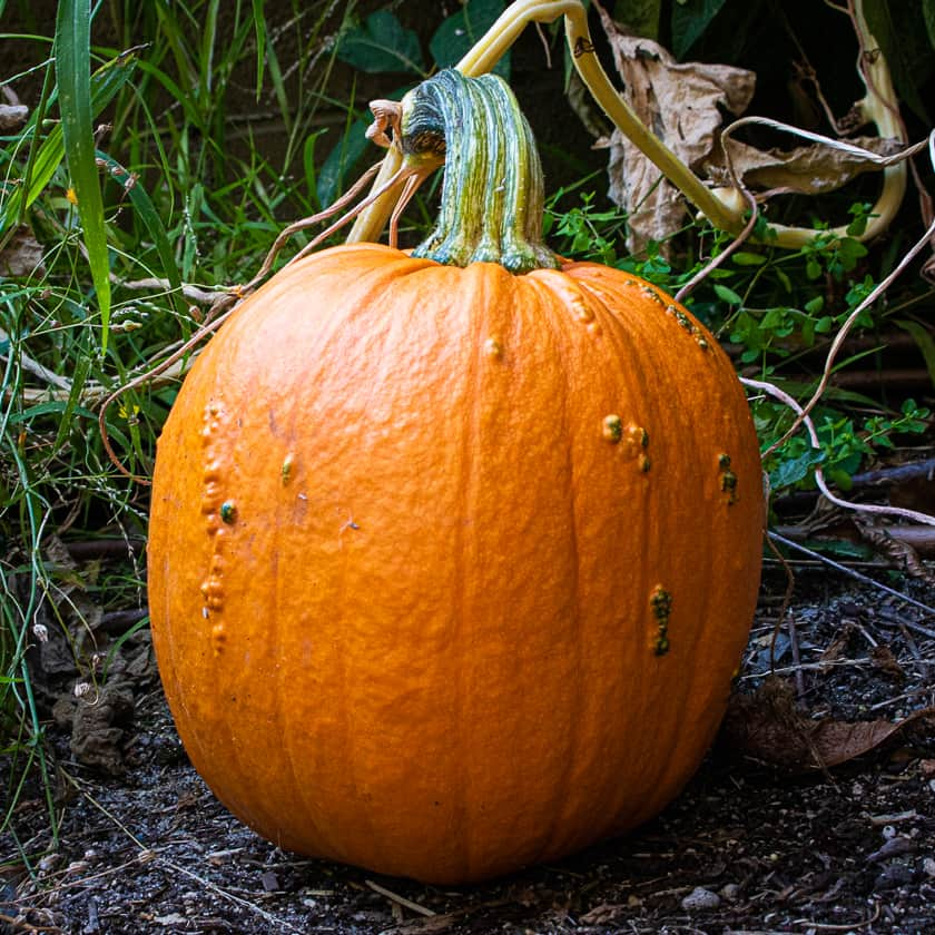 Jack o Lantern Pumpkin grown in 2020 Season