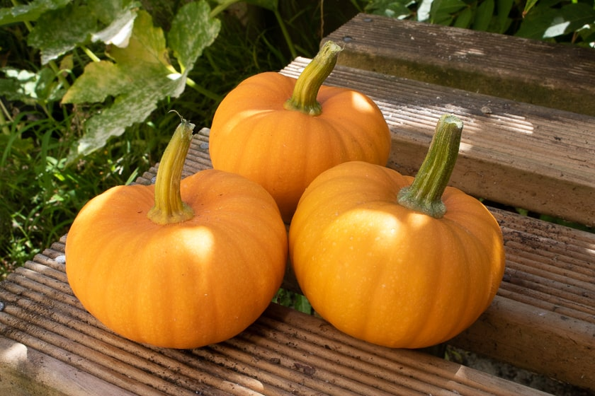 Miniature pumpkins grown in 2020 season