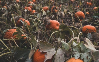 What is The Best Seed to Grow a Giant Pumpkin?